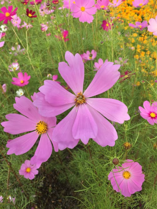 Free stock photo of cosmos flower