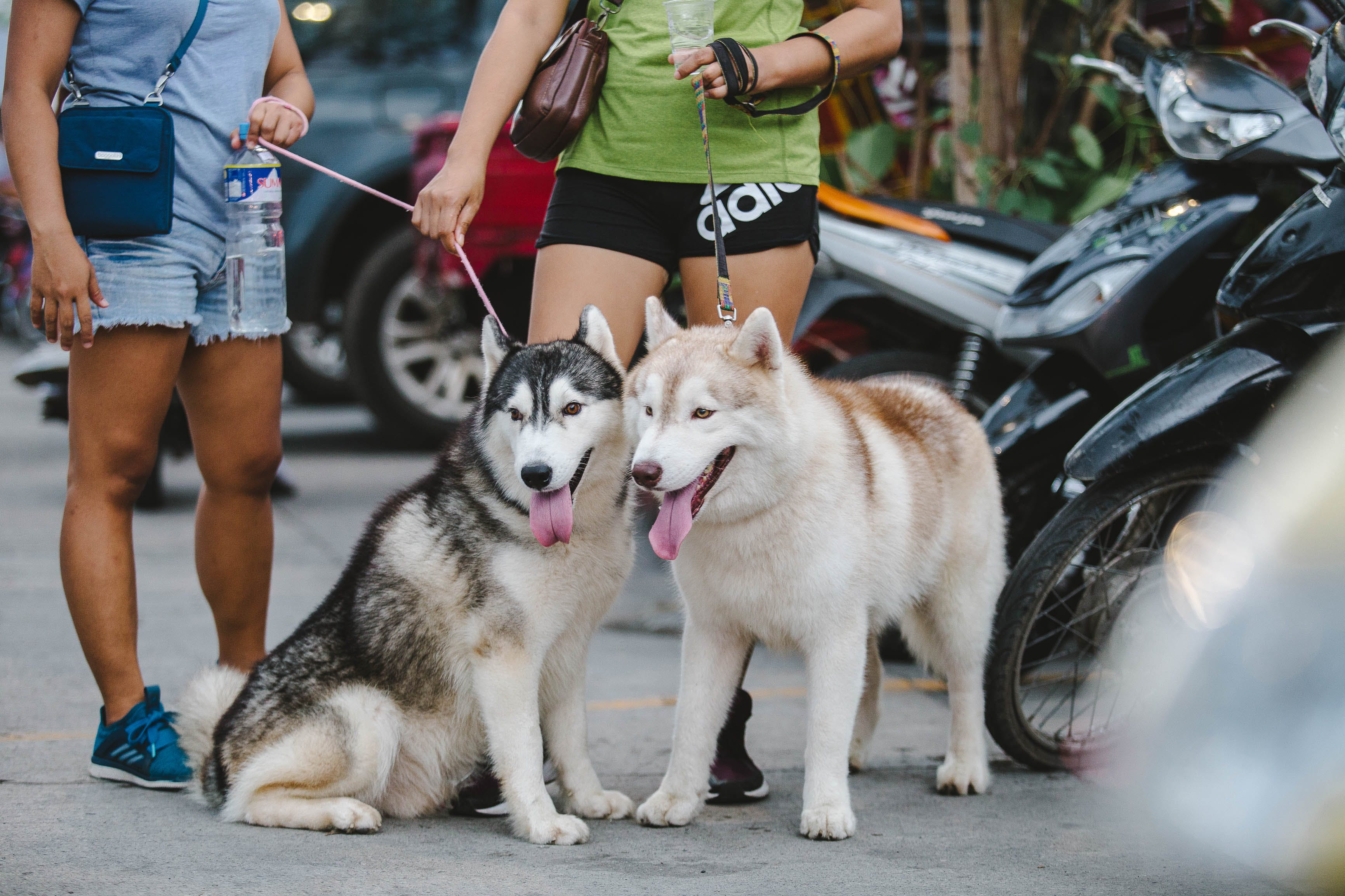 Two Adult Alaskan Malamutes