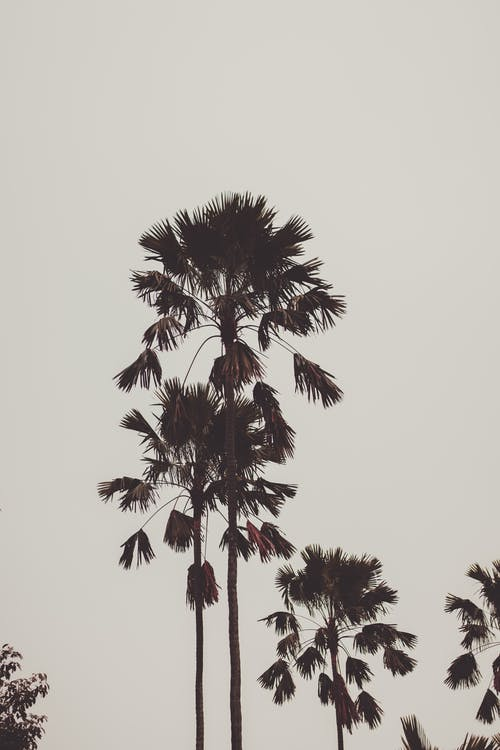 天空, 棕櫚樹, 棕櫚樹葉, 樹木 的 免费素材照片
