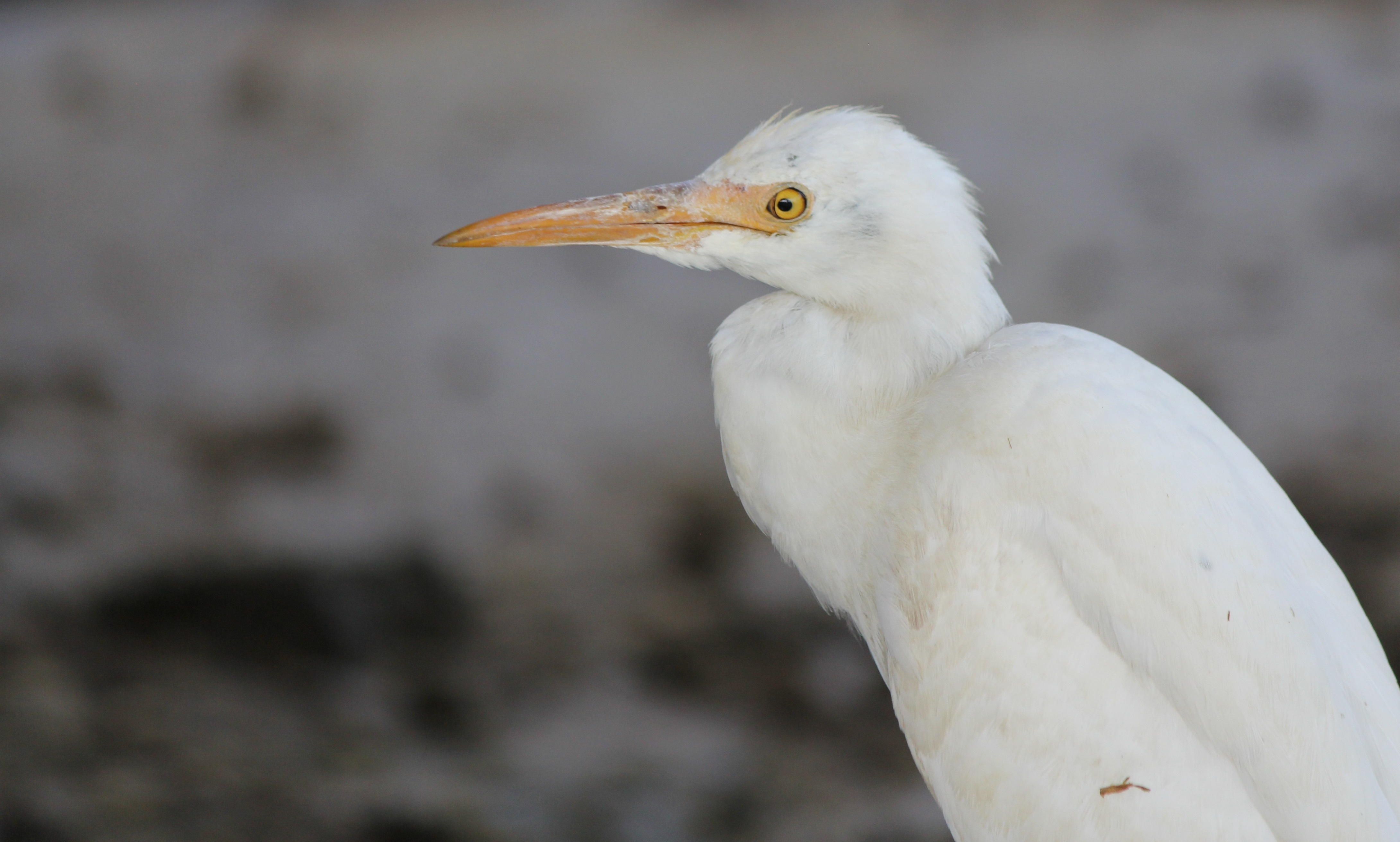 John Χολμς μεγάλο πουλί