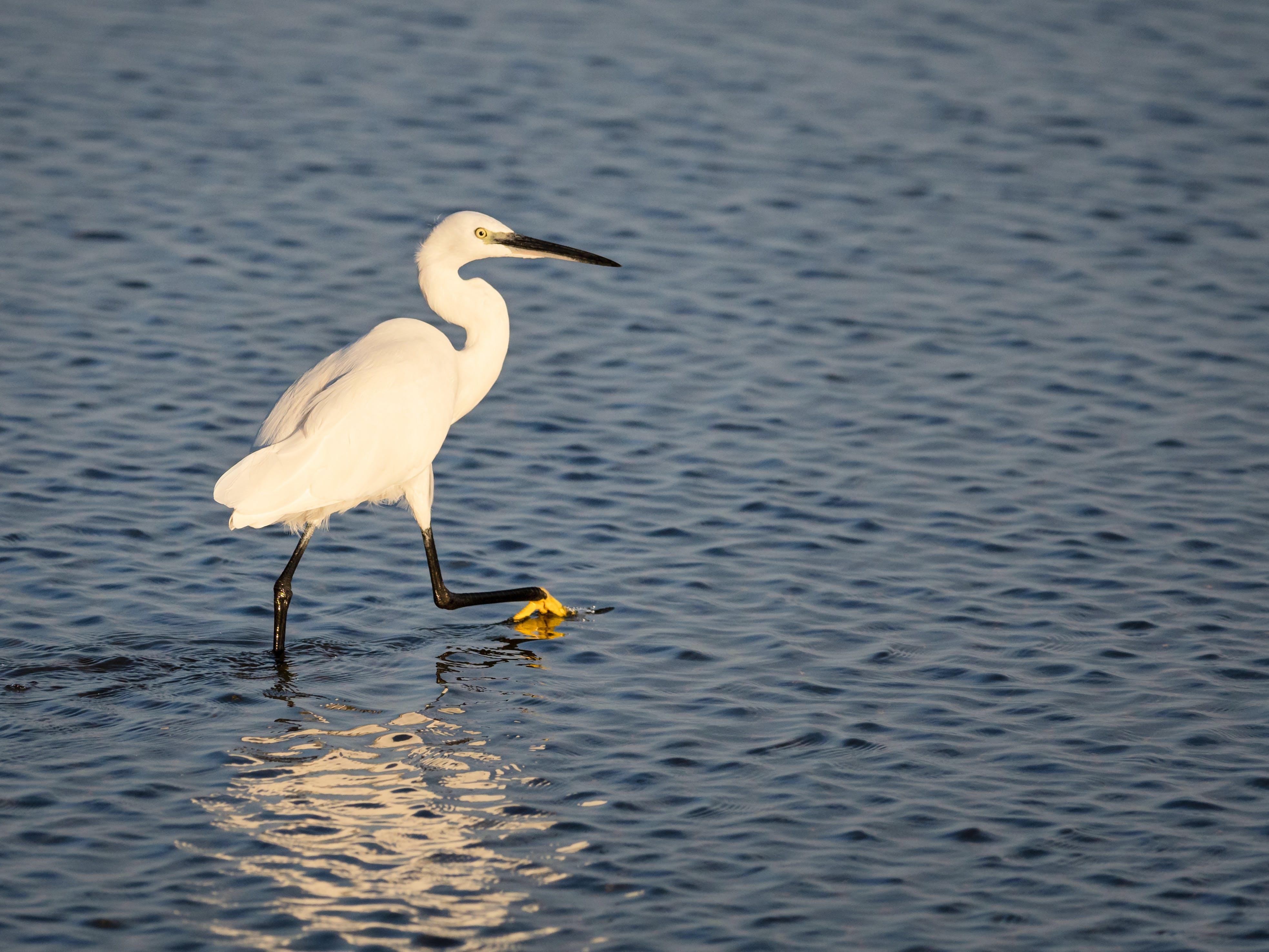 Fotobanka sbezplatnými fotkami na tému biela, divý, egretta, Florida
