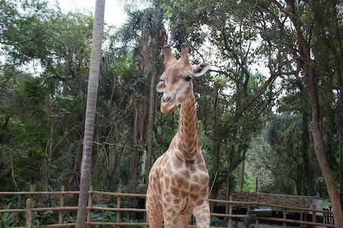 Бесплатное стоковое фото с животные, жирафы