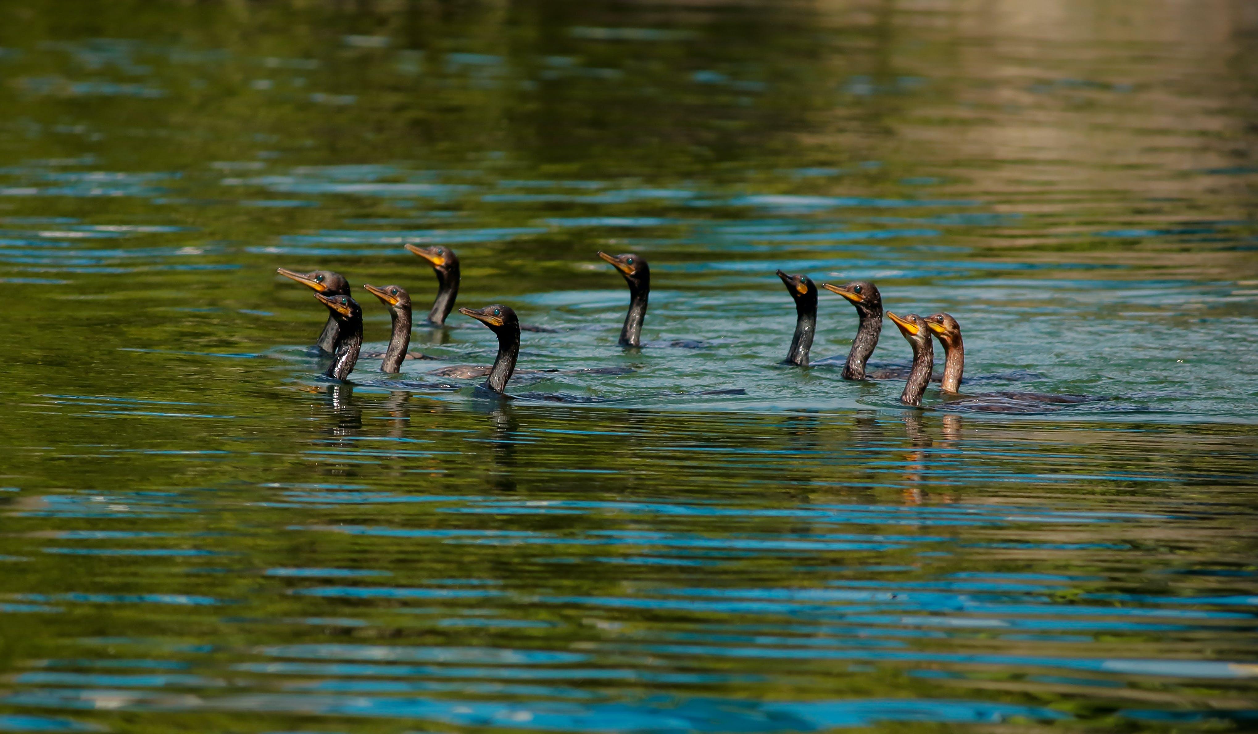 Free stock photo of animal, birds, brown, cormorants