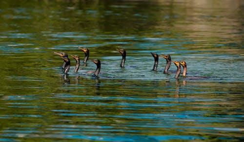คลังภาพถ่ายฟรี ของ ดนตรี, ทะเล, ธรรมชาติ, นกกาน้ำ