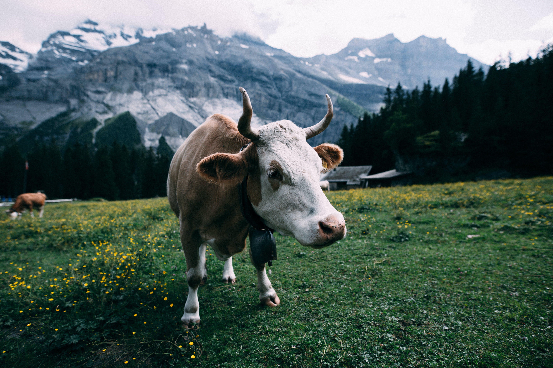 Gratis stockfoto met beest, berg, bloemen, boerderij