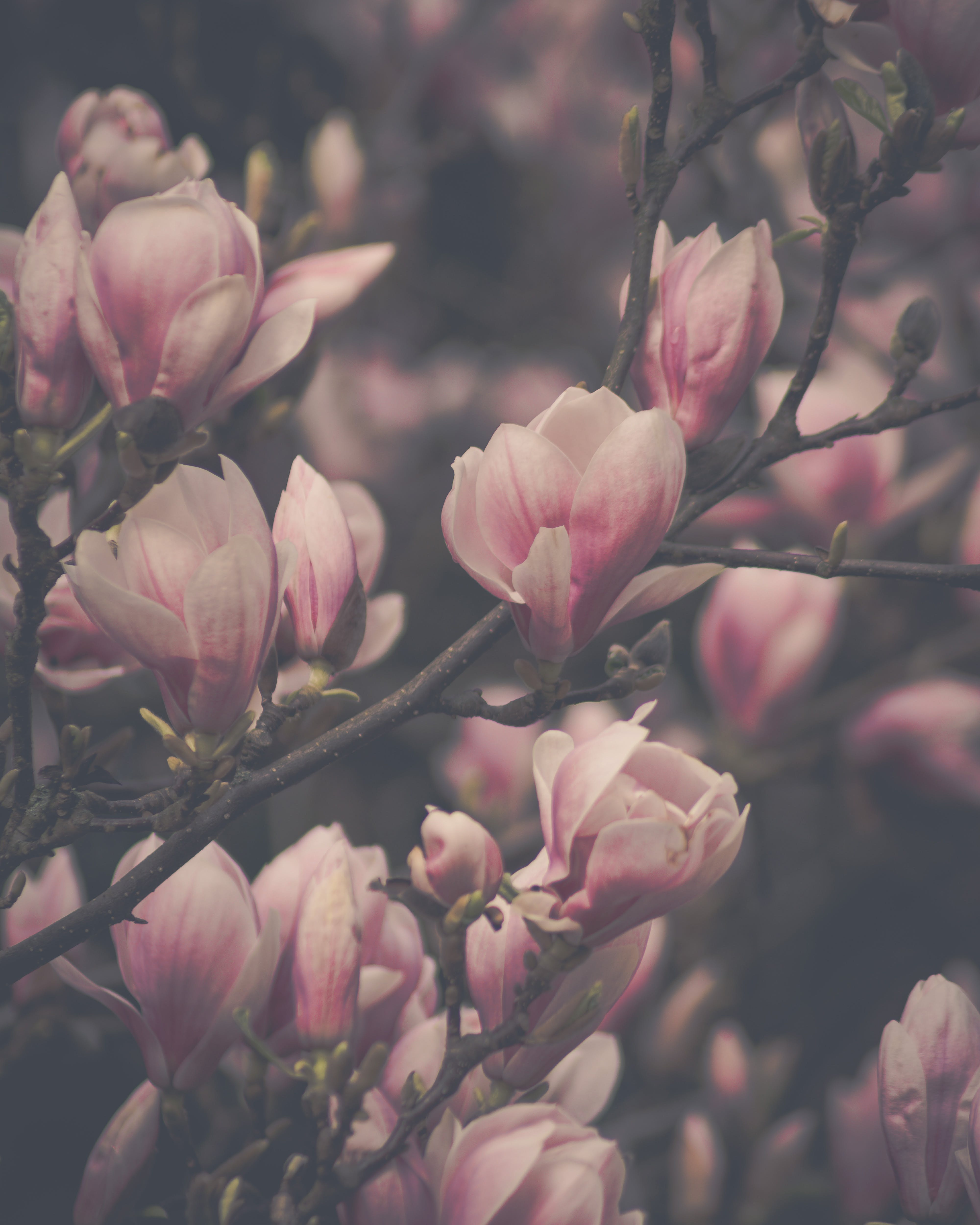 Free stock photo of bud, flower, flowering, magnolia