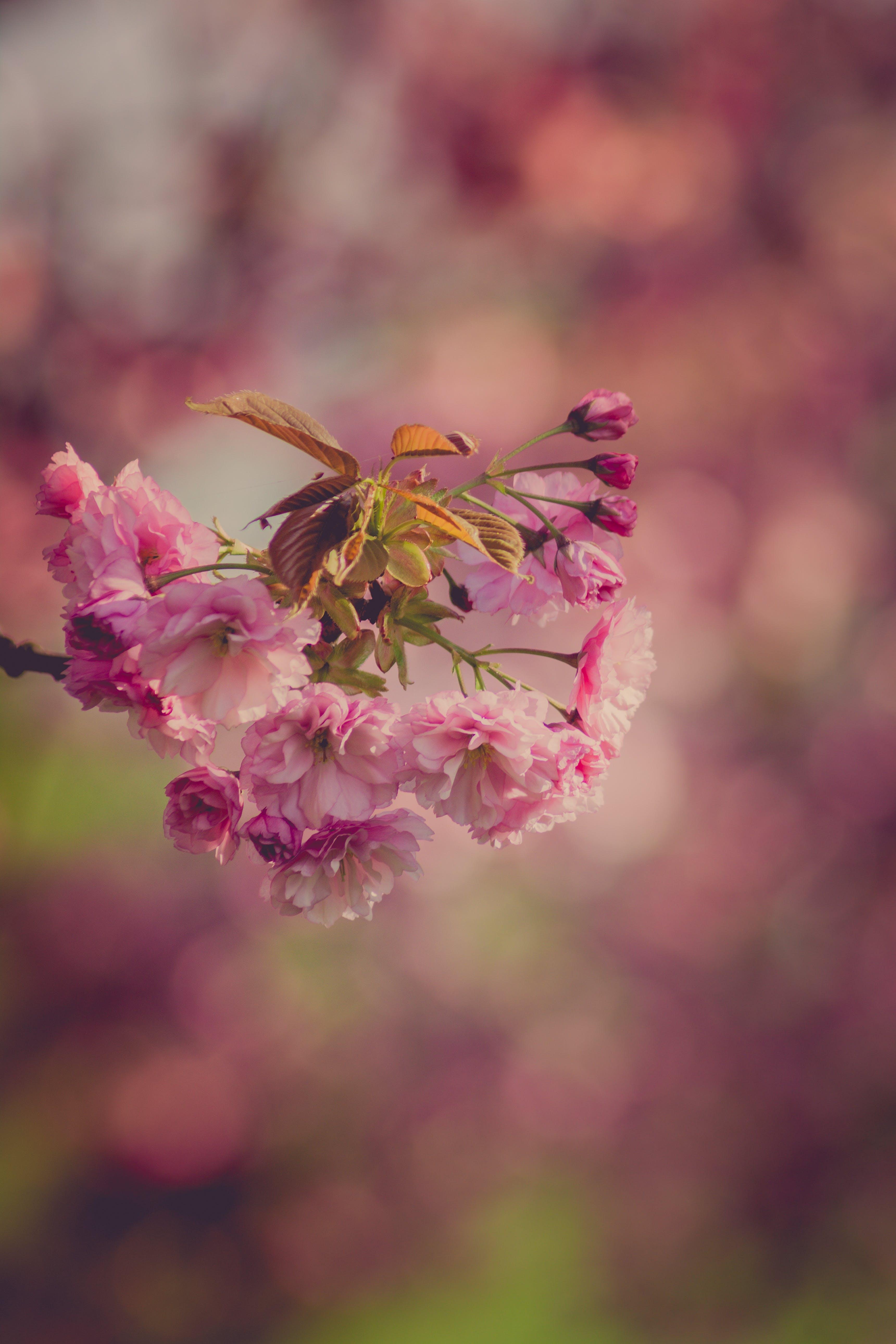 Free stock photo of bud, cherry blossom, flower, flowering