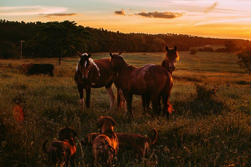 Photo of Horses and Dogs in Grass Field During Golden Hour