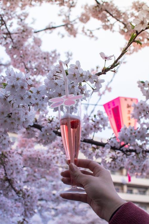 Foto stok gratis bunga sakura, bunga-bunga, Jepang, minuman