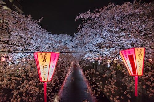 Foto stok gratis bunga sakura, bunga-bunga, Jepang, Tokyo