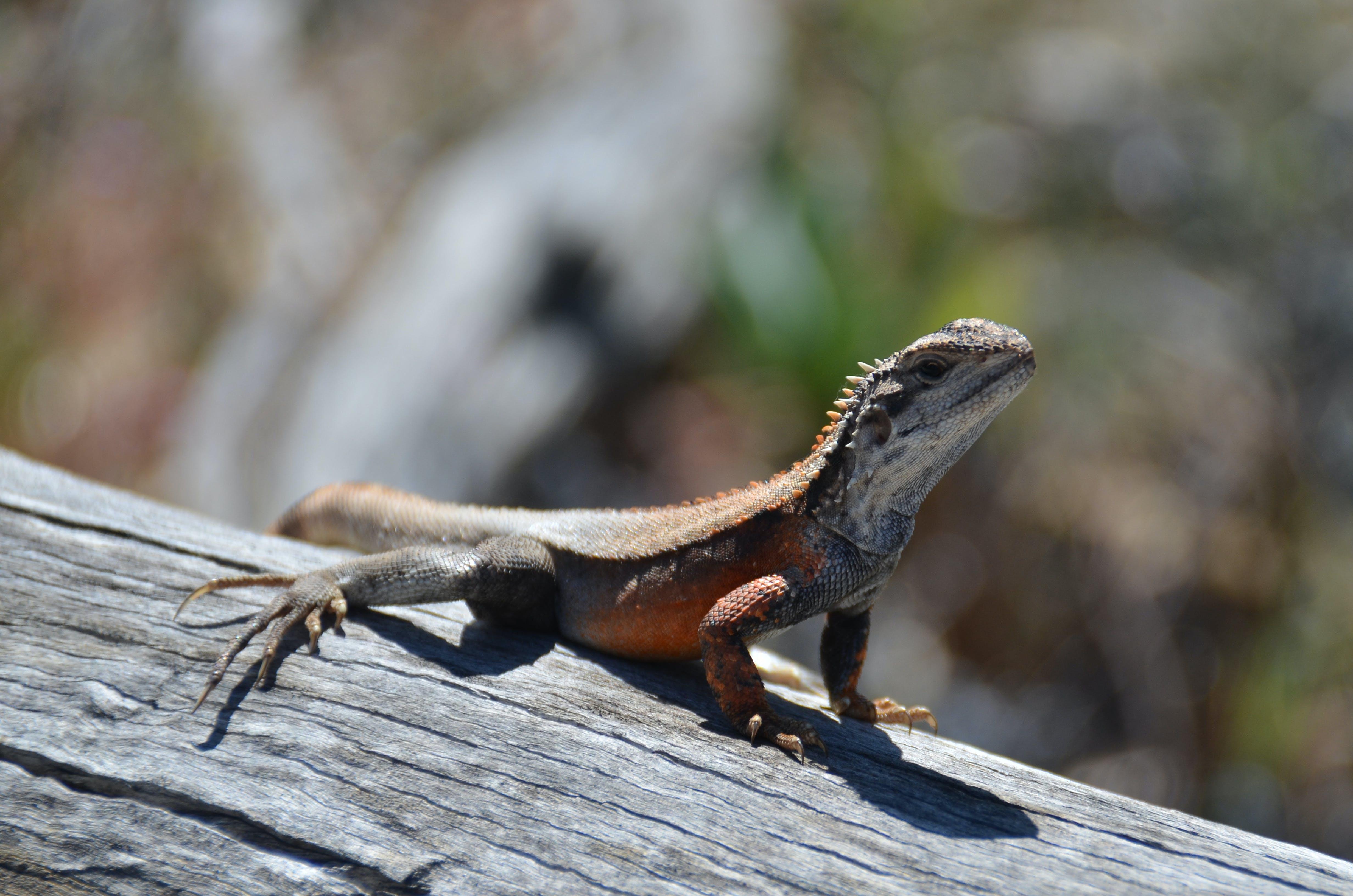 Free stock photo of australia, reptile, lizard sunning itself on timber log