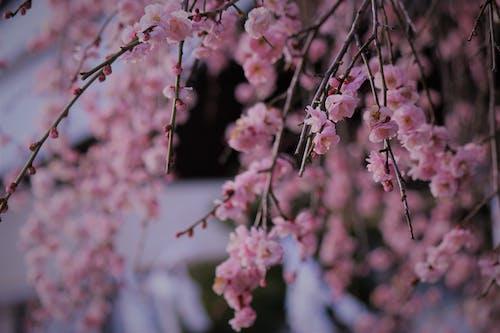Foto d'estoc gratuïta de flor, flor bonica, flor de cirerer, flors roses