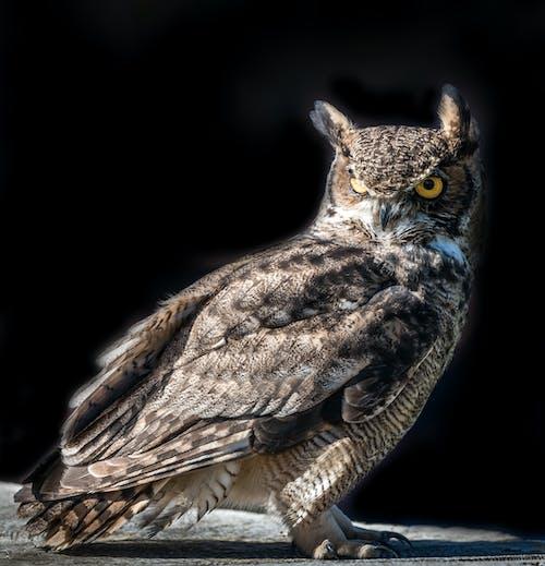 Fotos de stock gratuitas de búhos, fotografía al aire libre, observación de aves, ojos amarillos
