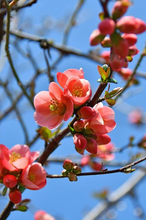 Fotobanka sbezplatnými fotkami na tému biela, čerešňa, čerstvý, japončina