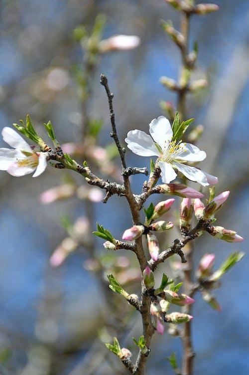 Fotobanka sbezplatnými fotkami na tému Apple, biela, čerstvý, flóra