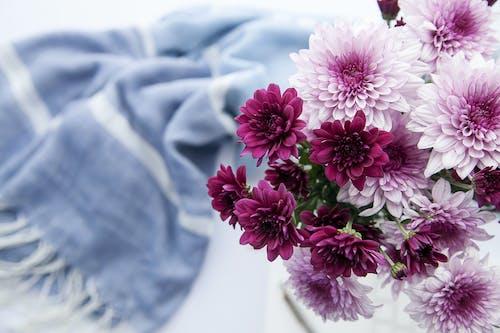 圍巾, 大麗花, 紫色的花朵, 花 的 免費圖庫相片