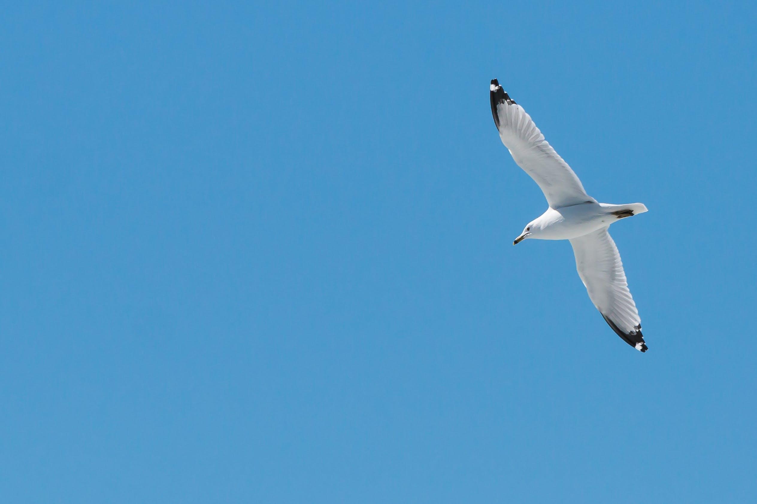 Základová fotografie zdarma na téma jasná obloha, létání, modrá obloha, racek