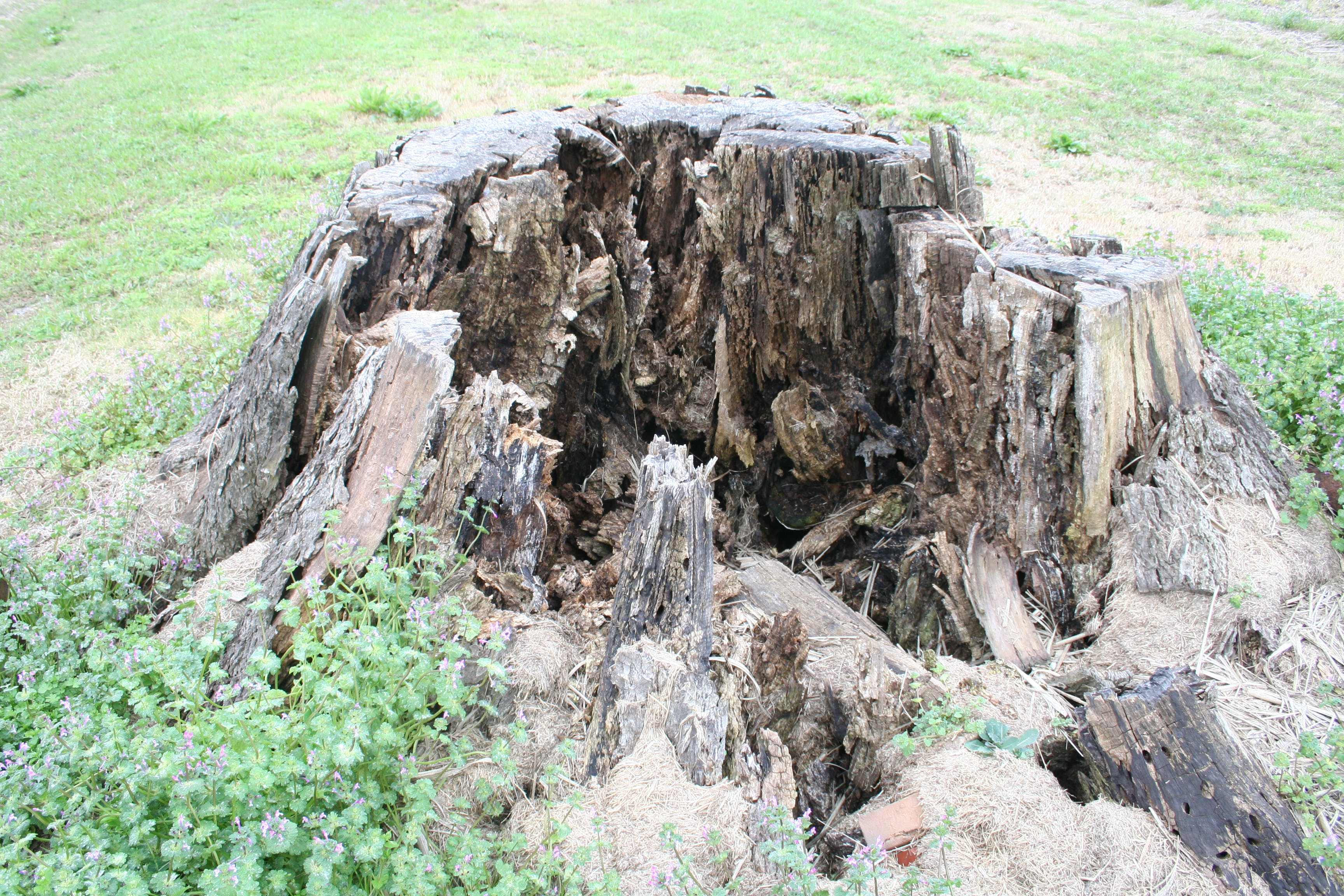 Free stock photo of rotten, tree stump