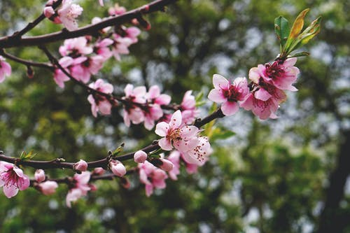 Free stock photo of blooming, blooming tree, blossom, closeup