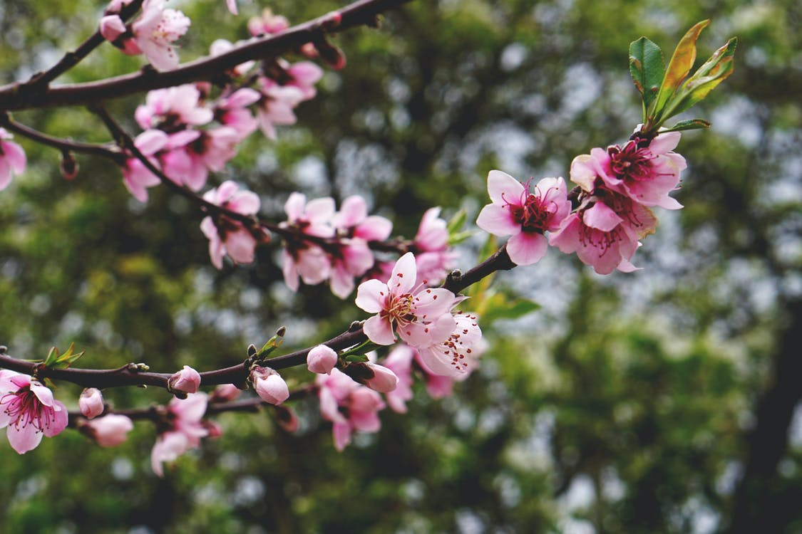 blooming, blooming tree, blossom
