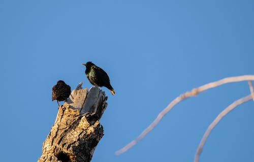 Free stock photo of European Starling, starling