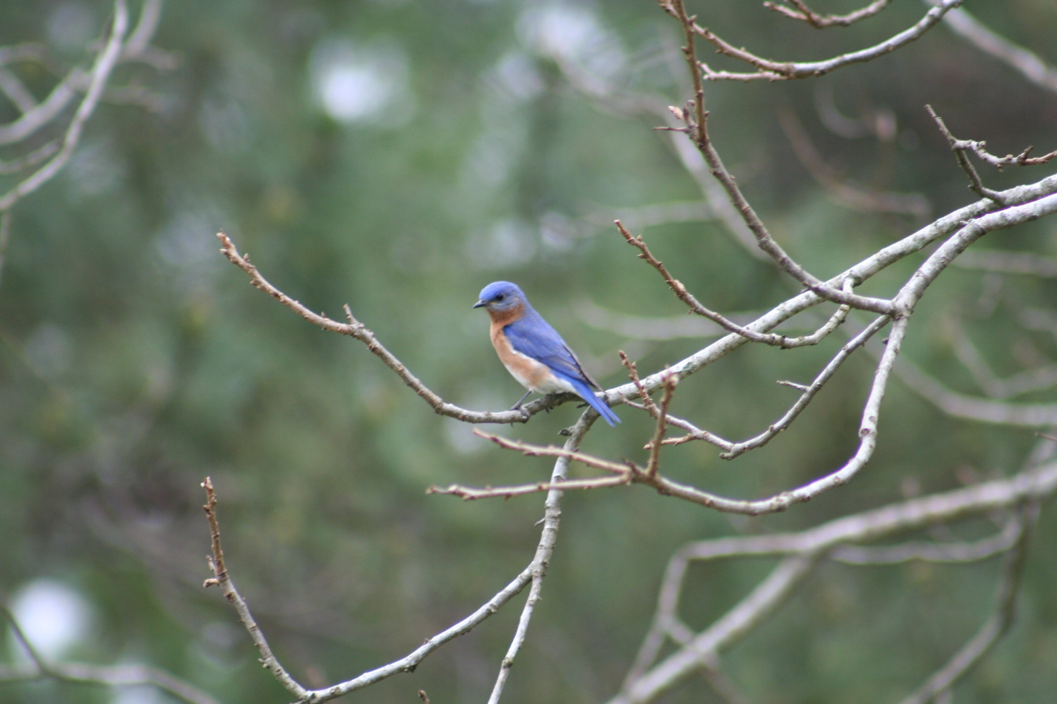 Free stock photo of Eastern Bluebird
