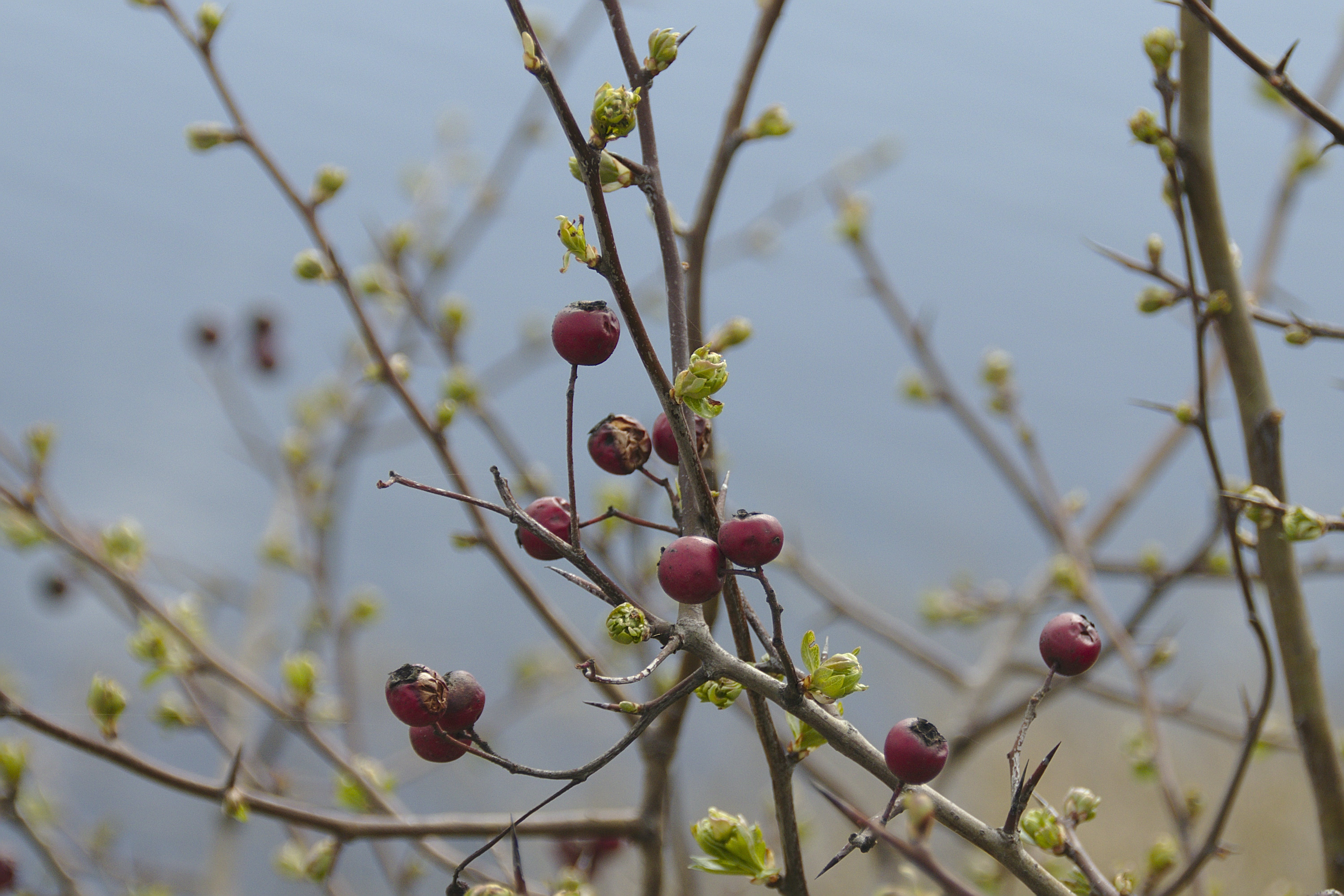 Free stock photo of berries, bush, new and old