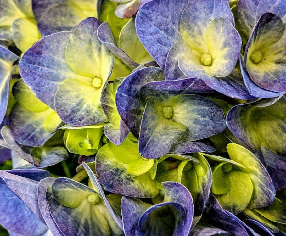 hortenzia, lila hortenzia