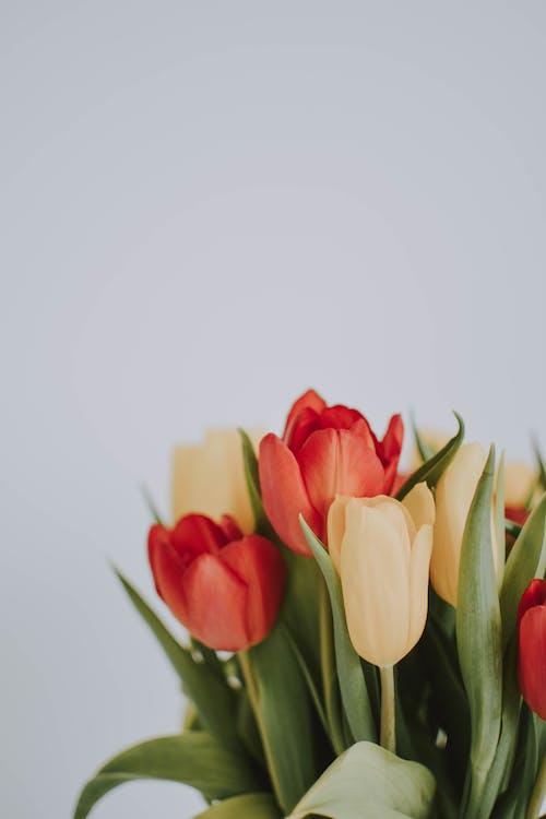 Immagine gratuita di bocciolo, fiori, flora, petali