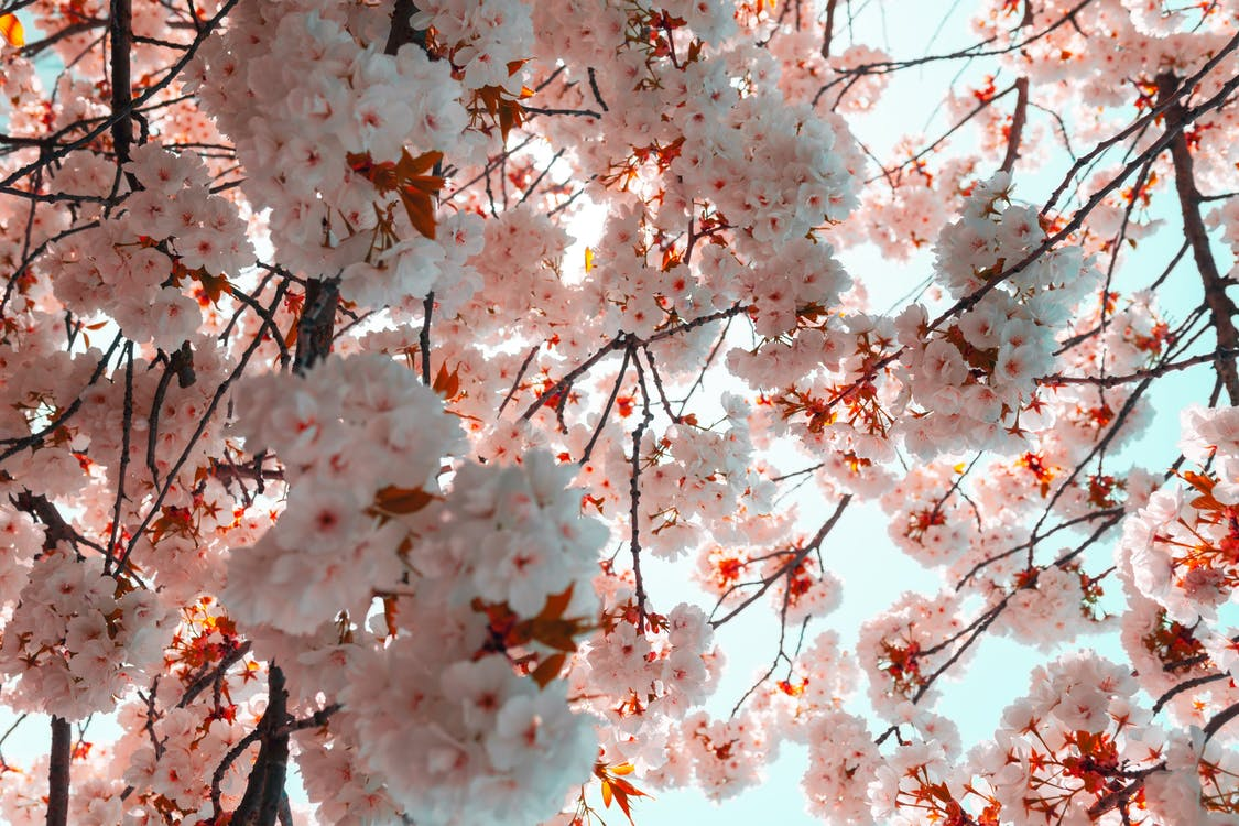 Low Angle Photography Of Cherry Blossoms