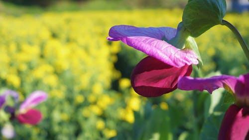bezelye, Çiçekler içeren Ücretsiz stok fotoğraf