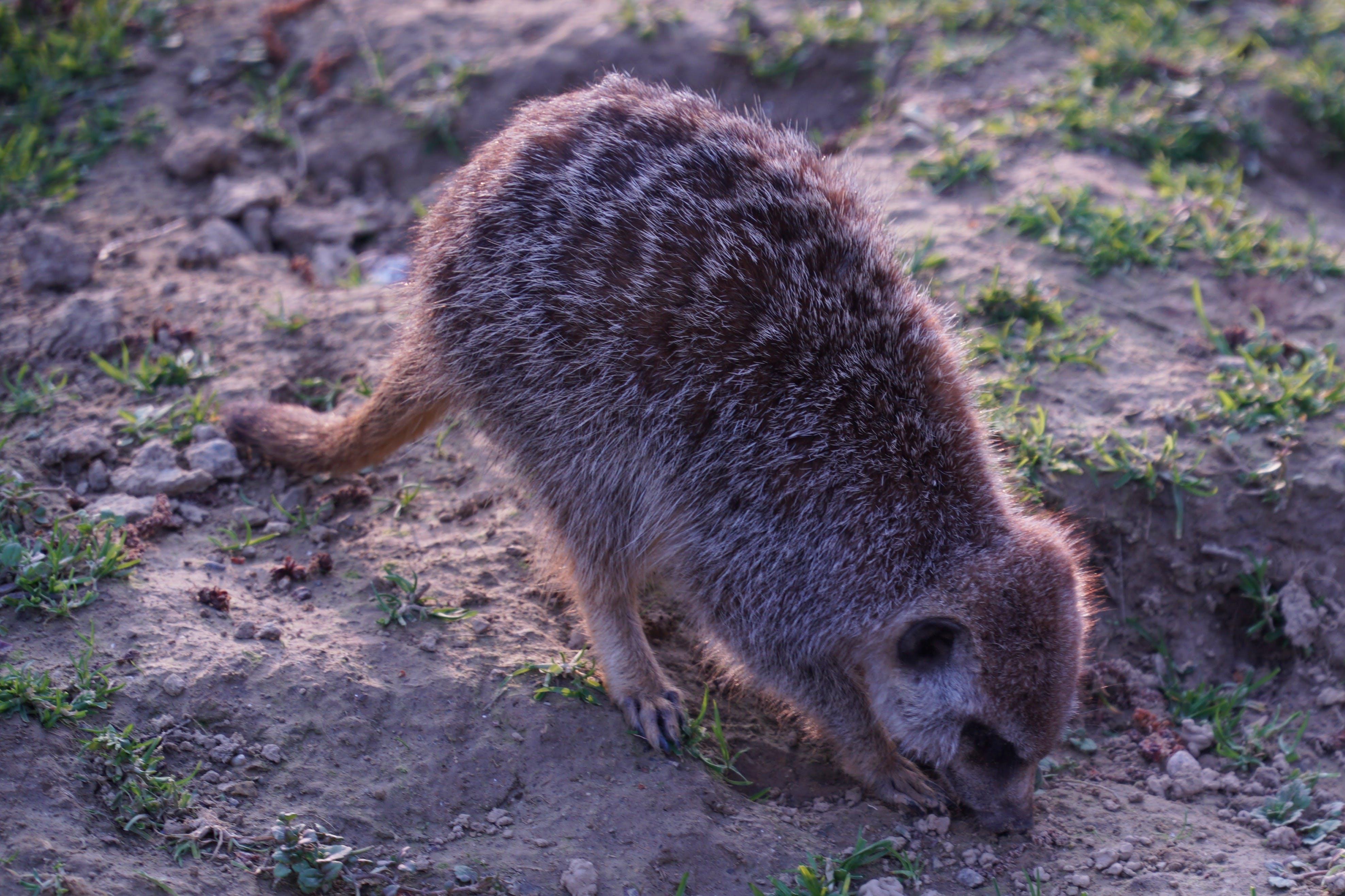 Free stock photo of animals, cute animals, meerkat, nature