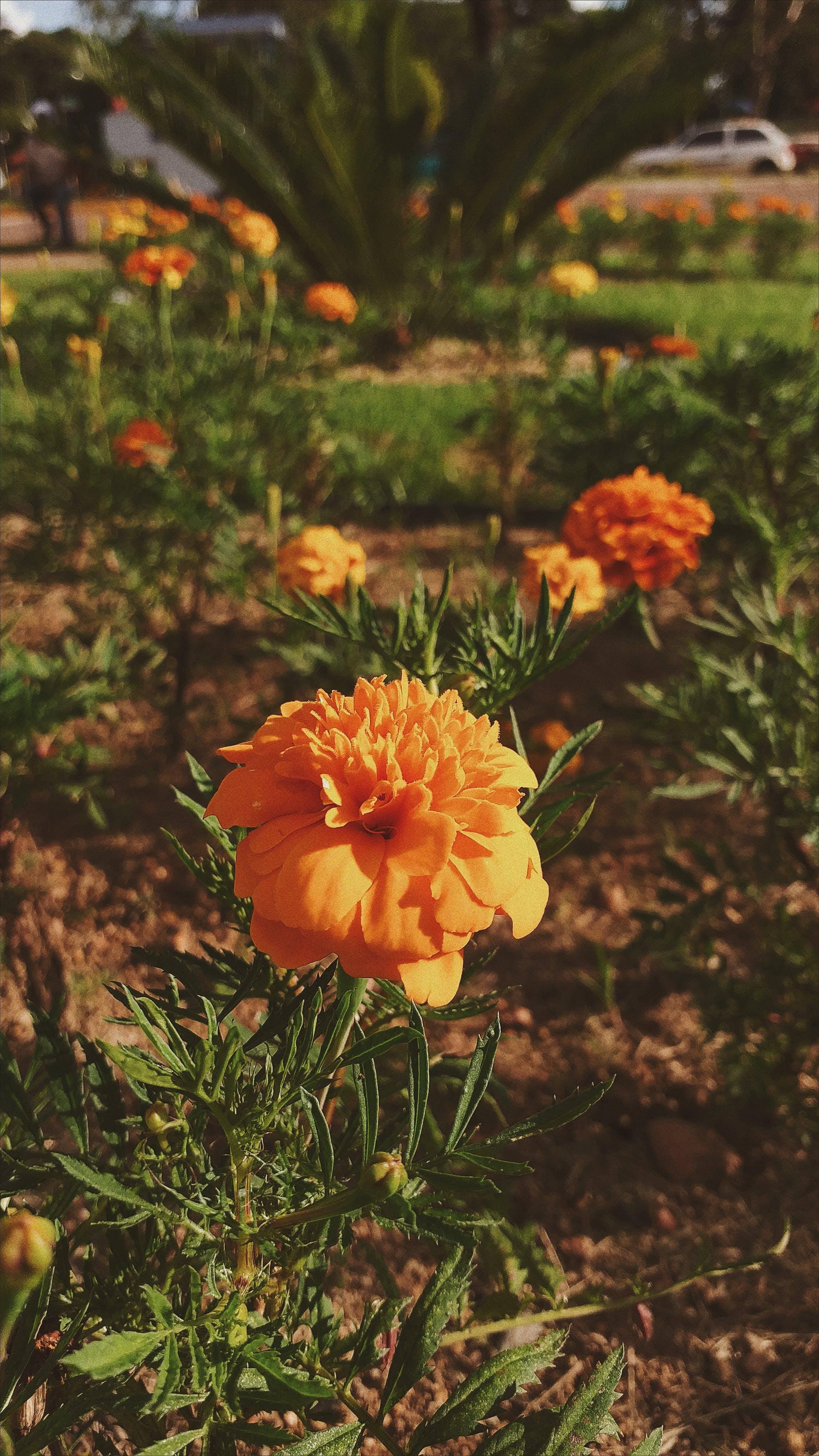 Free stock photo of amor, beauty, brasil, flor