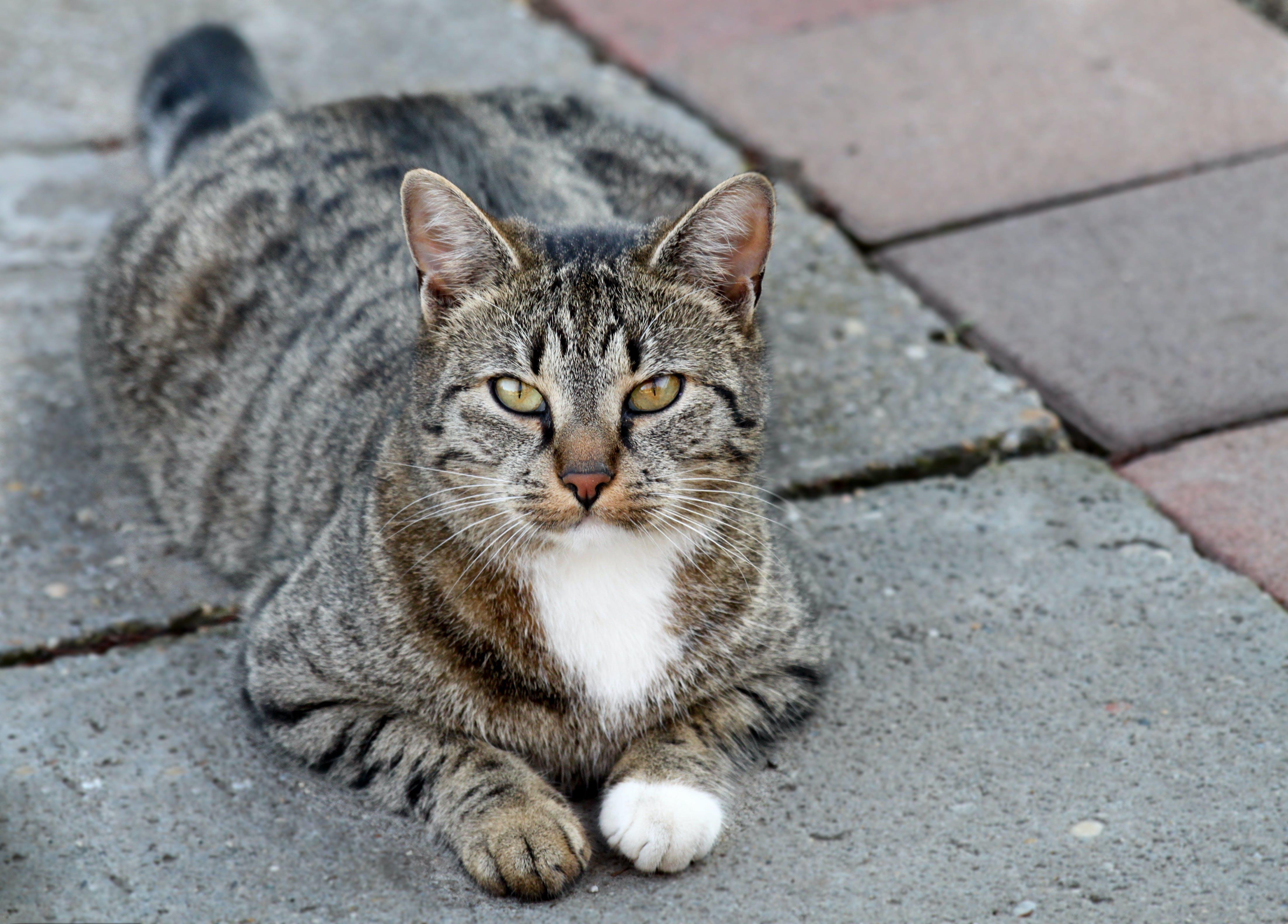 Foto profissional grátis de cara de gato, gato de rua, olhar de gato, olho de gato