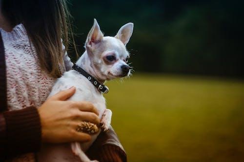 Kostenloses Stock Foto zu chihuahua, hand, haustier, hund