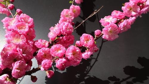 光與影, 對比, 玫瑰, 花 的 免费素材照片