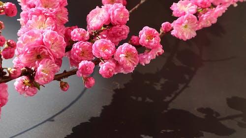 光與影, 對比, 玫瑰, 粉紅玫瑰 的 免费素材照片