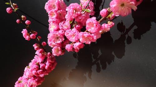 光與影, 對比, 春天的花朵, 紅玫瑰 的 免费素材照片