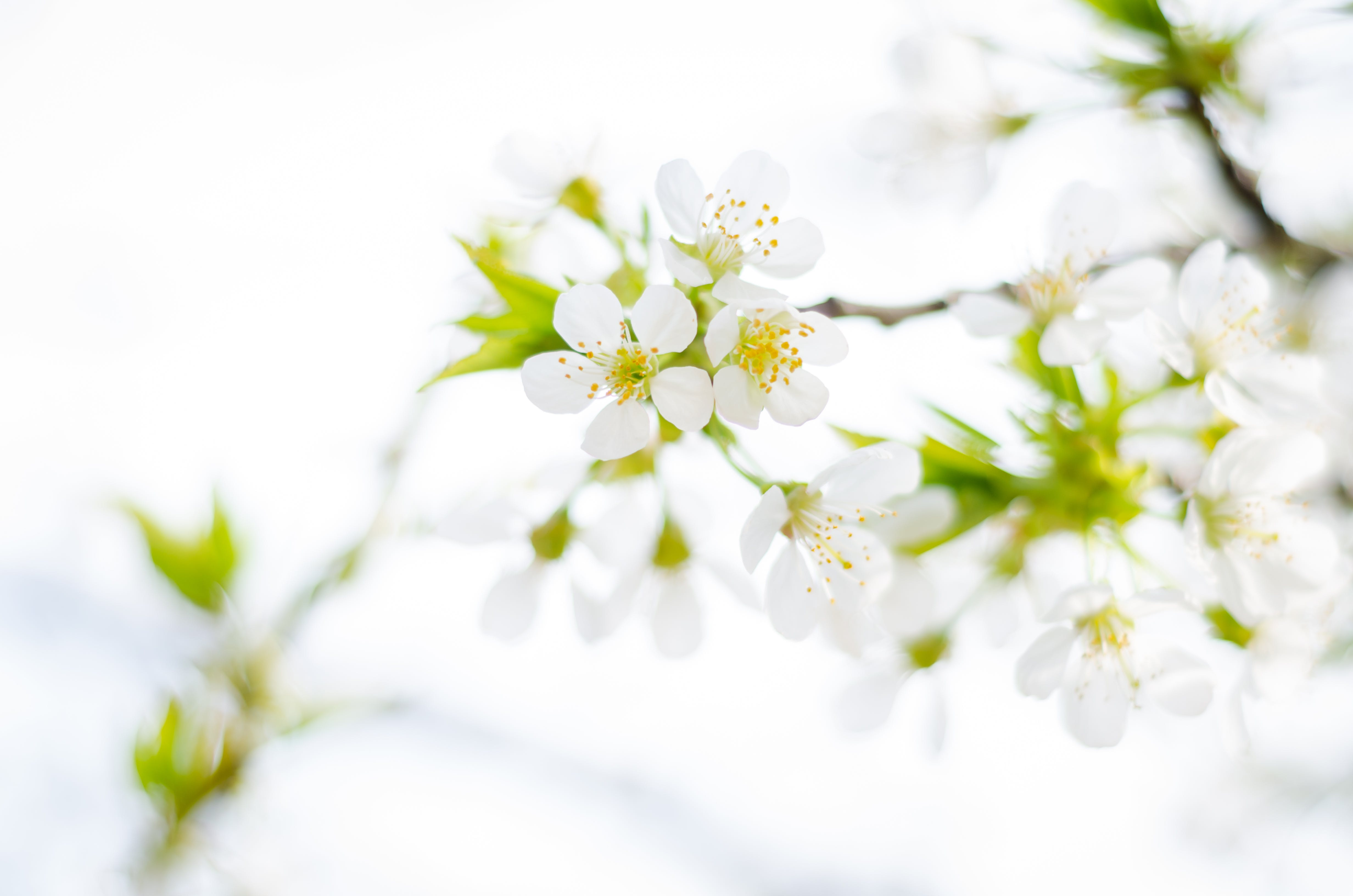 White 5-petaled Flower in Close-up Photography