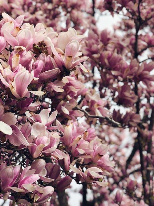 Gratis arkivbilde med blomster, natur, rosa blomster