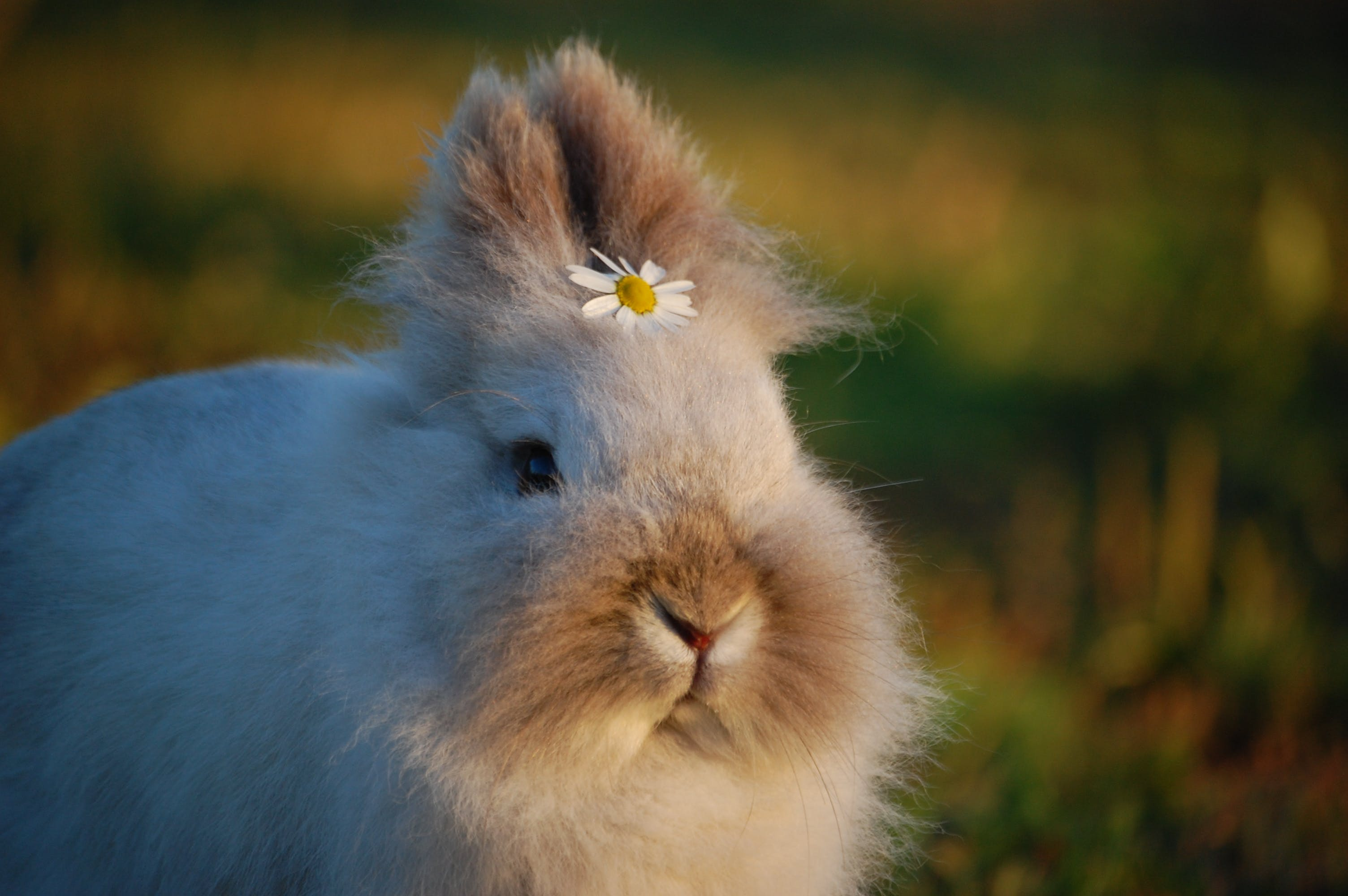 うさぎの耳, ウサギ, バニー, ペットの