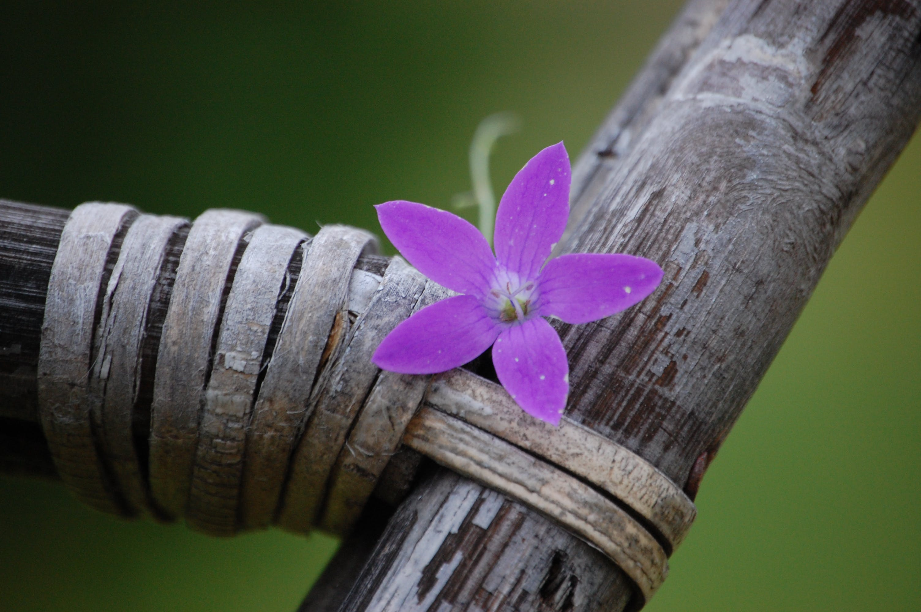 Fotos de stock gratuitas de flo violeta