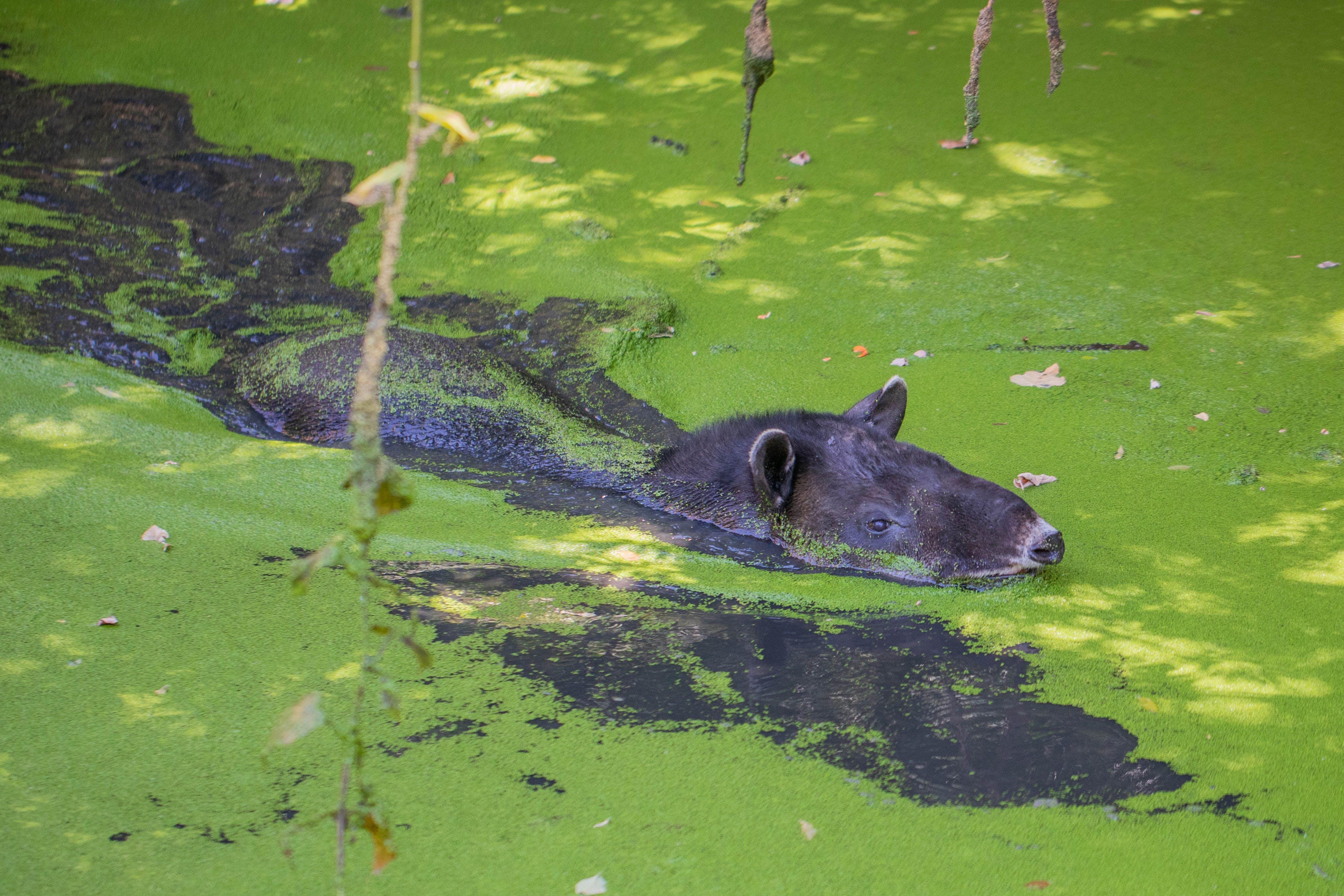 Kostenloses Stock Foto zu danta, naturleben, tapir, wildes tier