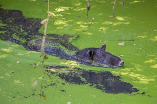 Foto d'estoc gratuïta de animal salvatge, danta, tapir, vida natural