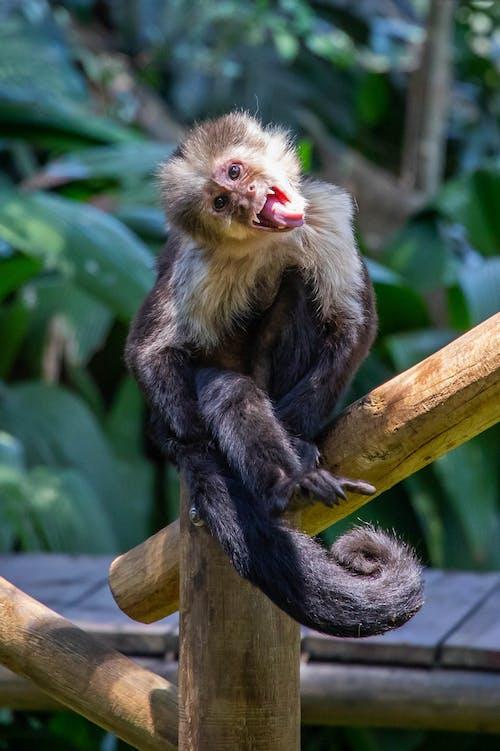 Foto d'estoc gratuïta de animal salvatge, mico, vida natural
