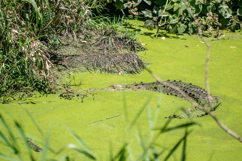 Kostenloses Stock Foto zu krokodil, naturleben, wildes tier, wildnis