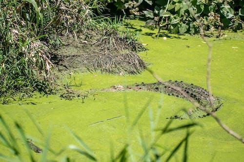 Gratis stockfoto met Krokodil, natuurleven, wild dier