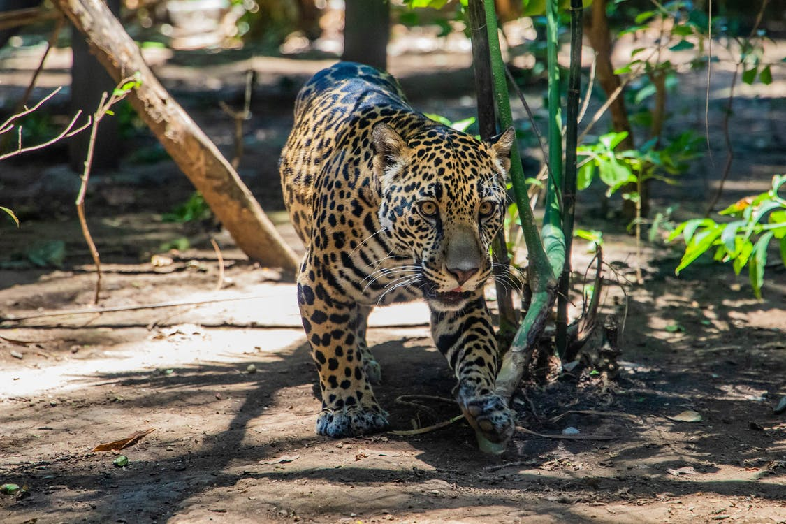 Brown Leopard Walking on Brown Field