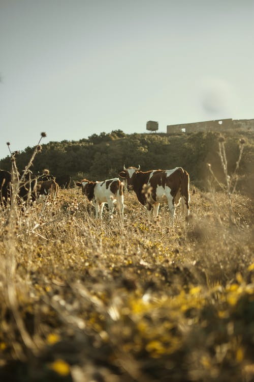 Ảnh lưu trữ miễn phí về ánh sáng ban ngày, bò cái, cánh đồng, chăn nuôi