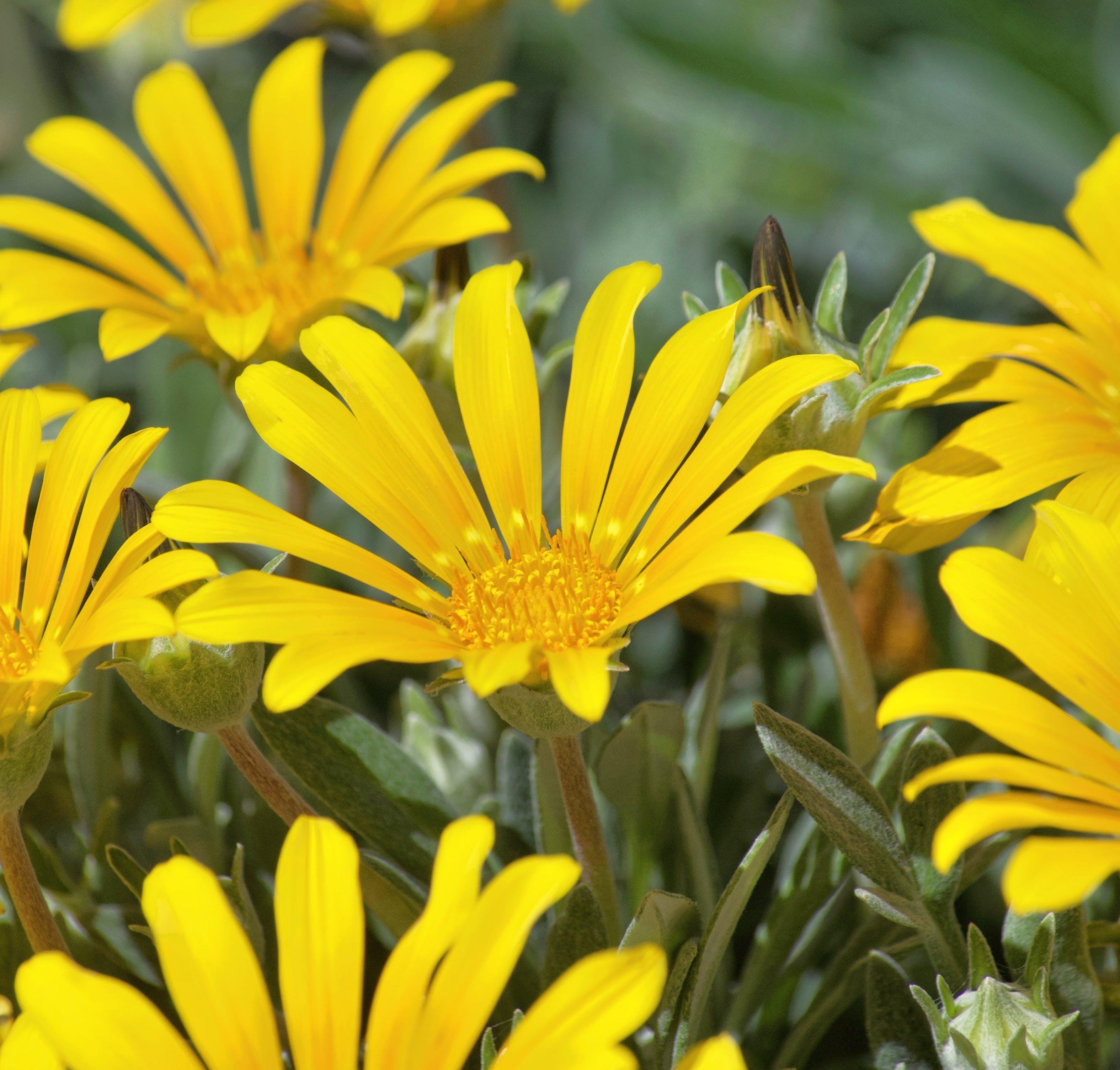 Kostenloses Stock Foto zu frühlingsblumen, gänseblümchen, gelb, gelbe wildblumen